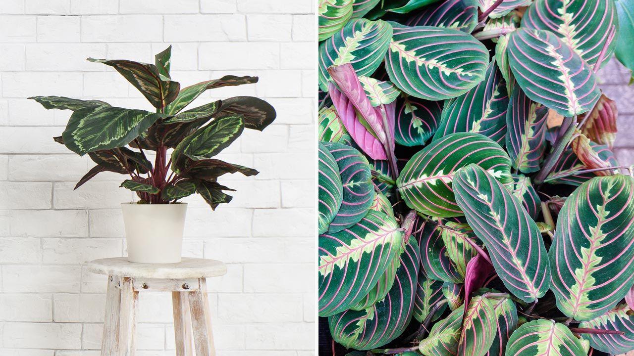 Calatheas y marantas, plantas de interior espectaculares