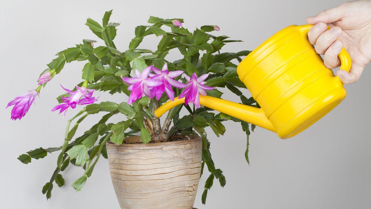 Riego del cactus de navidad