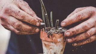 Árbol de los dedos: características y reproducción