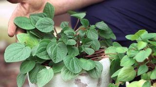 ¿Por qué se le caen las hojas a la peperomia?