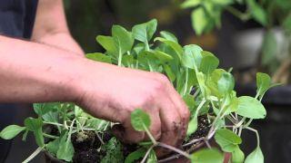 Plantar variedades de Pak Choi