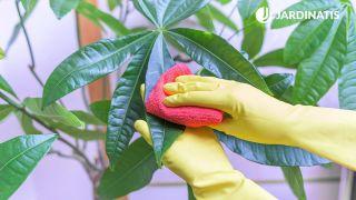 Cómo limpiar  las plantas de interior