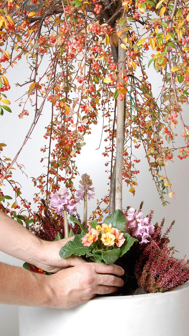 El cotoneaster como árbol de Navidad