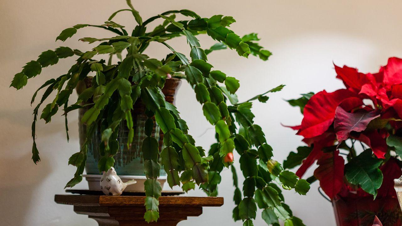 Porte colgante del cactus de navidad