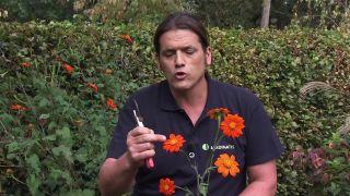 Características de Tithonia rotundifolia