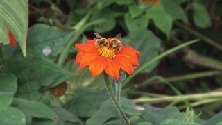 Girasol mexicano: características y composición floral