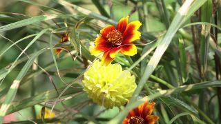 Miscanthus zebrinus, una gramínea ornamental