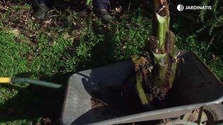 Cepellón del ensete ventricosum maurelii