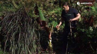 Retirar hojas del ensete