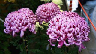 Tipos de crisantemos