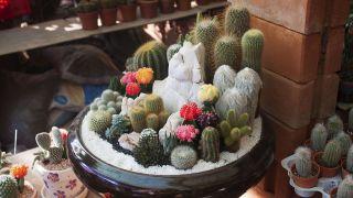 ¿Cuáles son las enfermedades más comunes de los cactus y plantas crasas?