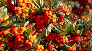 Arbusto Pyracantha