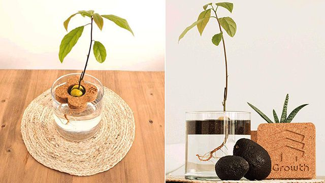 Kit de interior para plantar aguacate