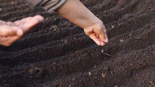 Plantar zanahorias en dicimebre