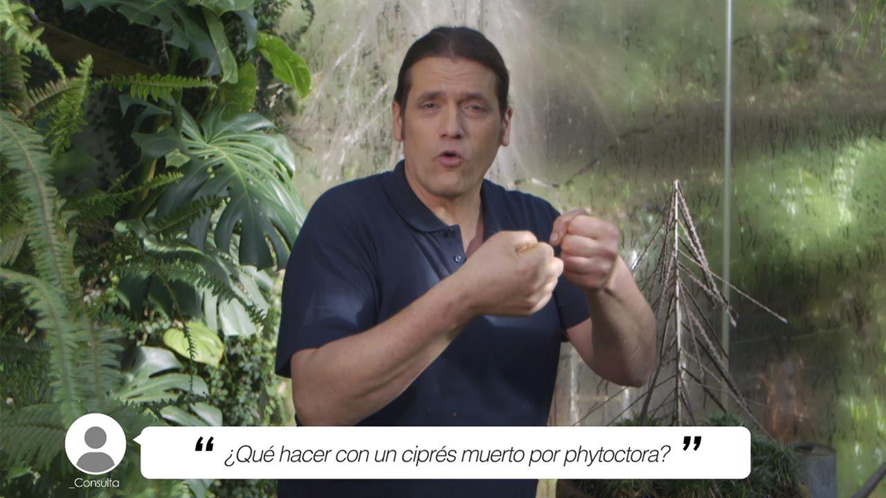 ¿Qué hacer con un ciprés muerto por phytoctora?
