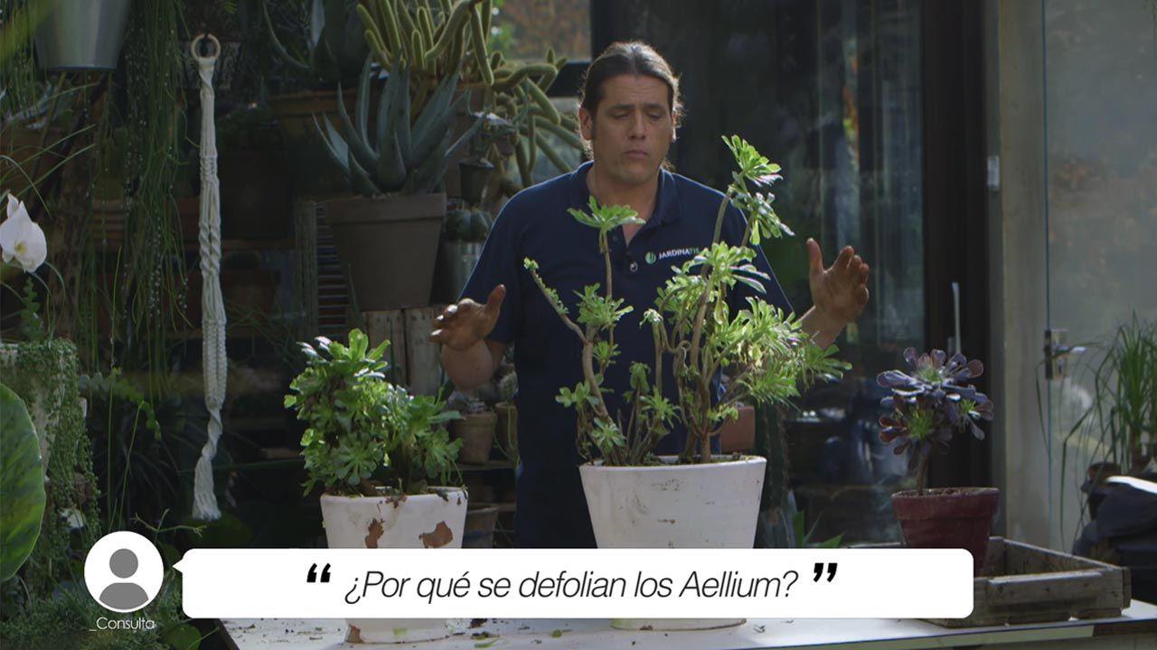 ¿Por qué se defolian los Aellium?