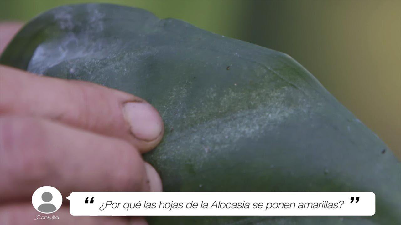 ¿Por qué las hojas de la Alocasia se ponen amarillas?