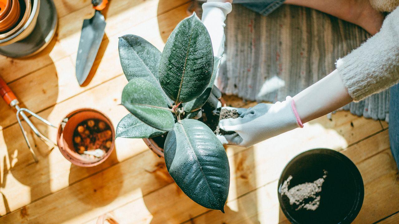 Cuidados y características del Ficus Robusta o Ficus elástica