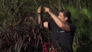 Pennisetum purpureum first knight: características y cuidados