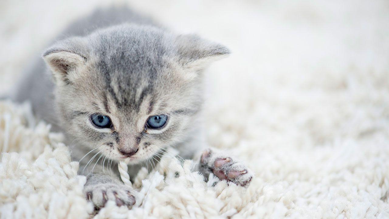 ¿Por qué te amasa tu gato?