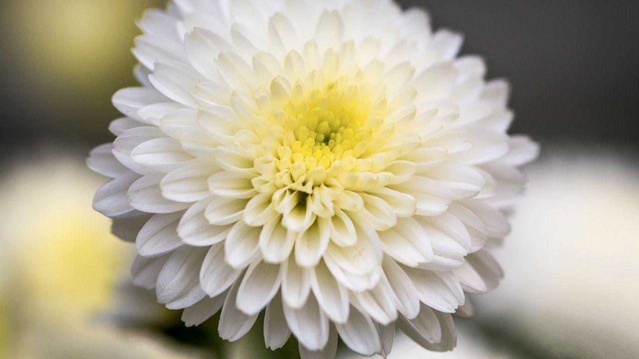 Regalar crisantemos blancos