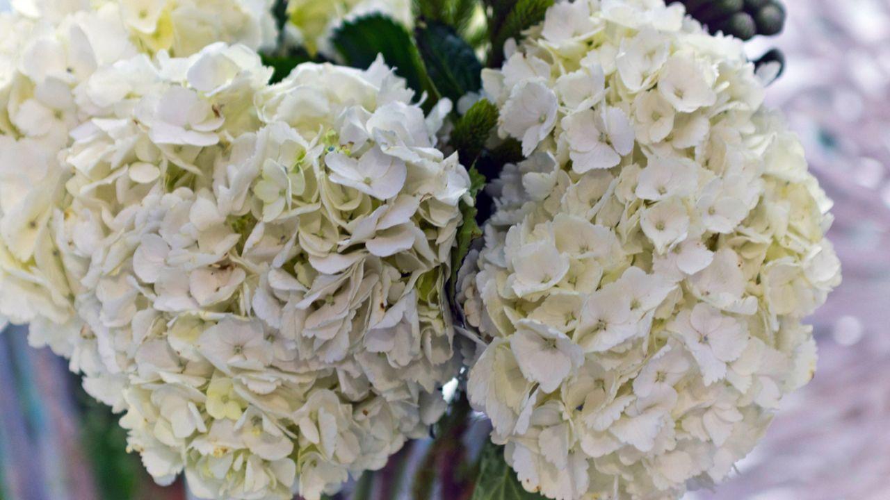 Regalar hortensias blancas