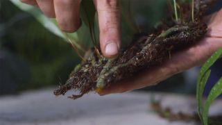 Helecho Microsorum pustulatum: características y cuidados