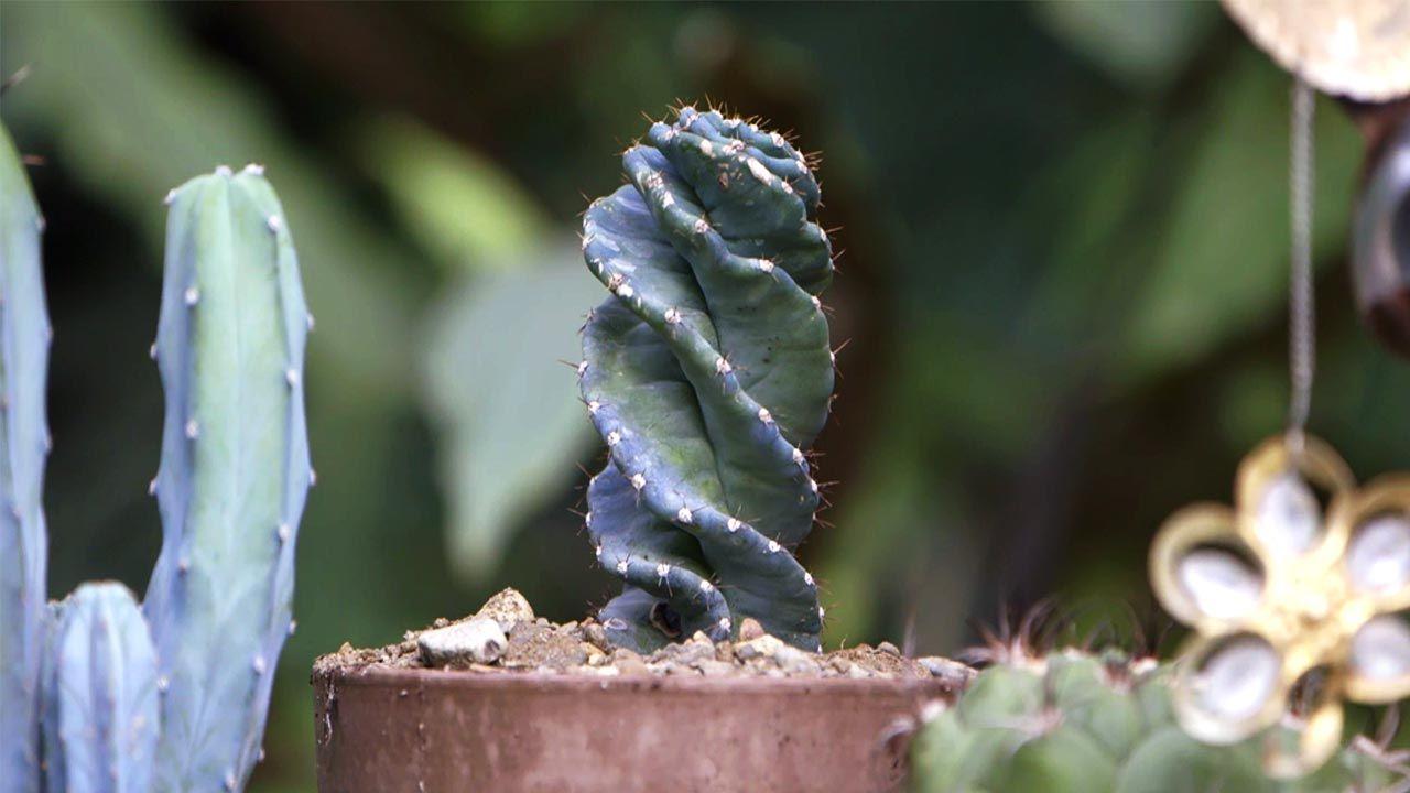 Cactus en espiral