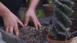 Cactus espiral: características y trasplante