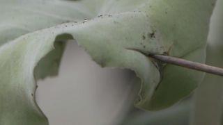 Kalanchoe beharensis o Calanchoe de Behara