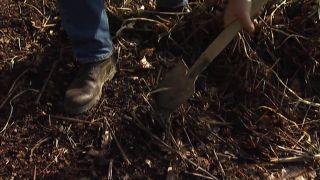 Reproducir la persicaria amplexifolia