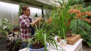 Cómo conseguir que la orquídea cymbidium florezca año tras año