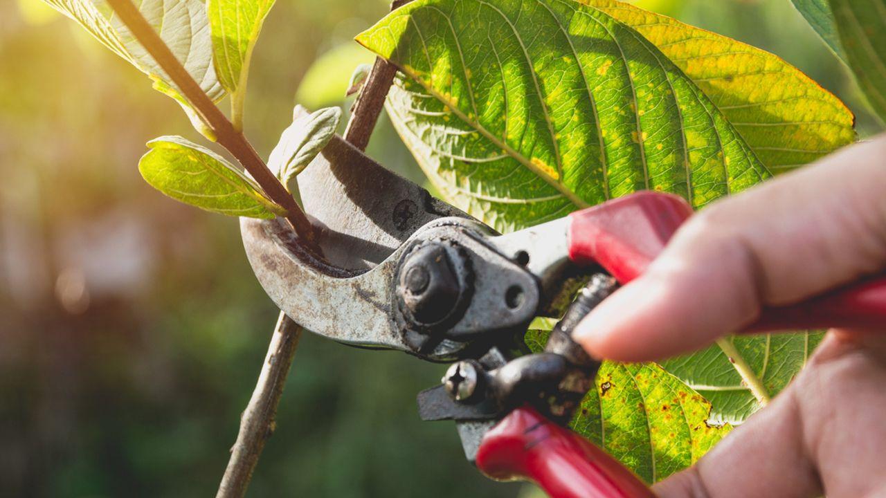 ¿Cuándo y cómo podar árboles frutales? (todo lo que necesitas saber)