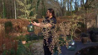 Floración de Tetrapanax