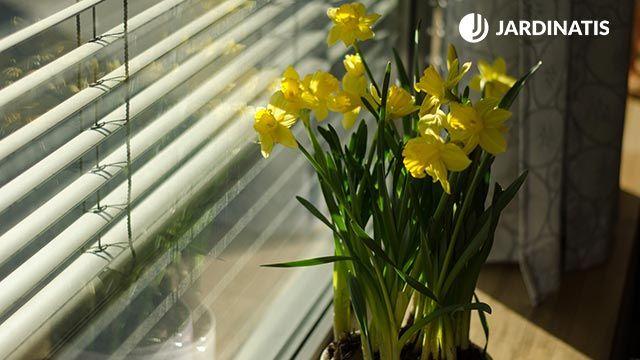 Narciso: descripción y cuidados