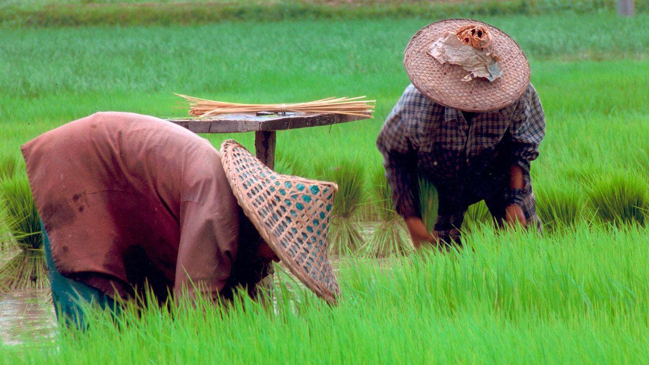 Origen del cultivo del arroz en el Sudoeste Asiático.