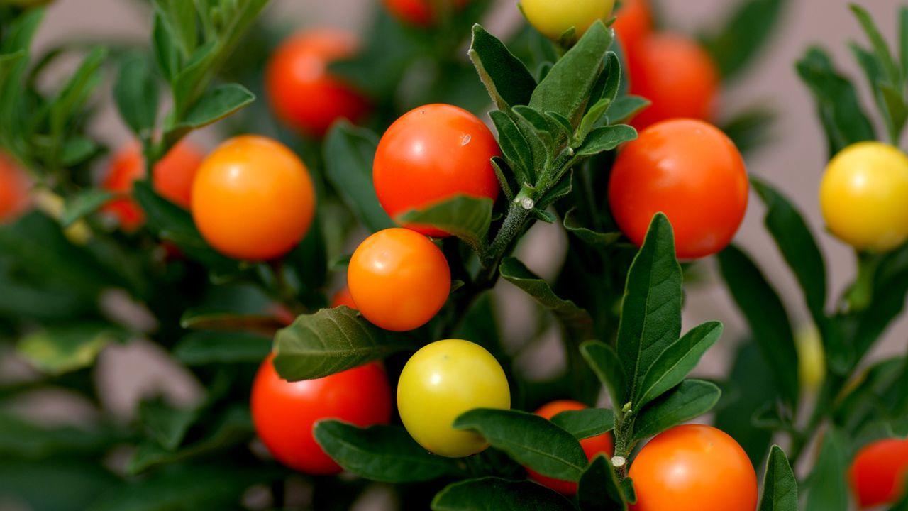 Ierusalim Tomato
