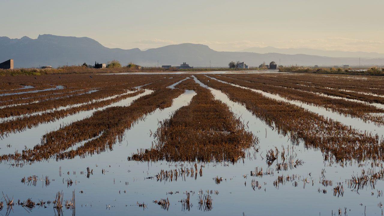 Campos de arroz al amanecer en el parque natural de la Albufera, Valencia