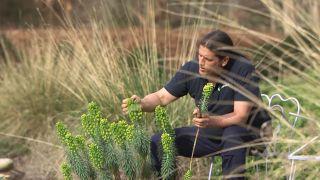 Euphorbia characias: características y reproducción