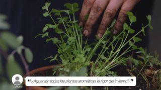 ¿Aguantan todas las plantas aromáticas el rigor del invierno?