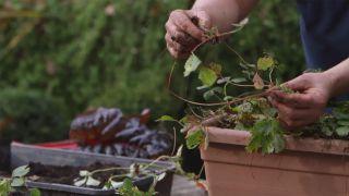 Cómo reproducir fresales por acodo