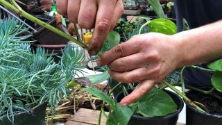 Cómo acodar un planta de poto en casa