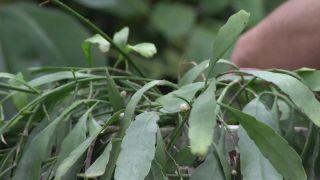 Nuevas variedades de Rhipsalis