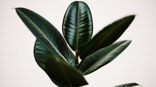 Ficus elástica