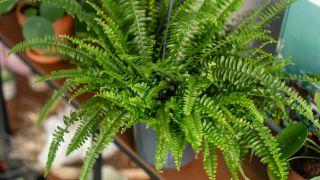 plantas de interior de hoja grande