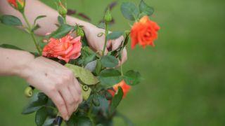 Poda de los rosales