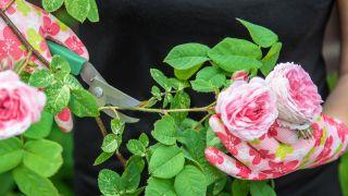 Rosales trepadores de floración anual