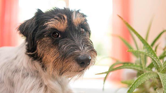 Perro al lado de una planta de aloe vera