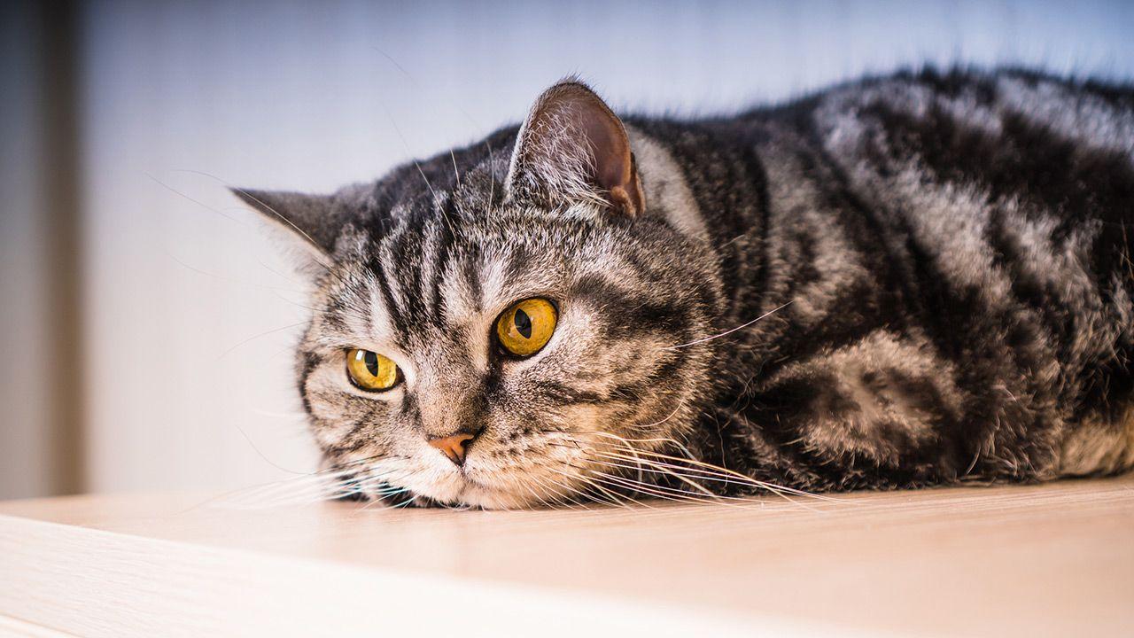 Claves para saber si tu gato se siente invadido