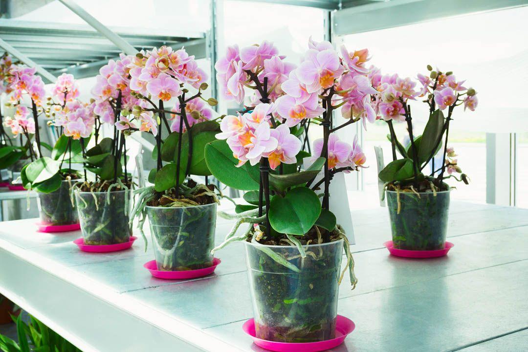 Cuidados de las orquídeas phalaenopsis